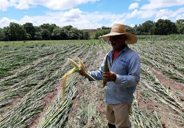 Vista de los daños causados a los cultivos tras las inundaciones en el distrito de Calobre, en Veraguas.  Foto: Melquiades Vásquez