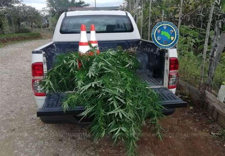 Ticos destruyen plantaciones de marihuana cerca a la frontera con Panamá