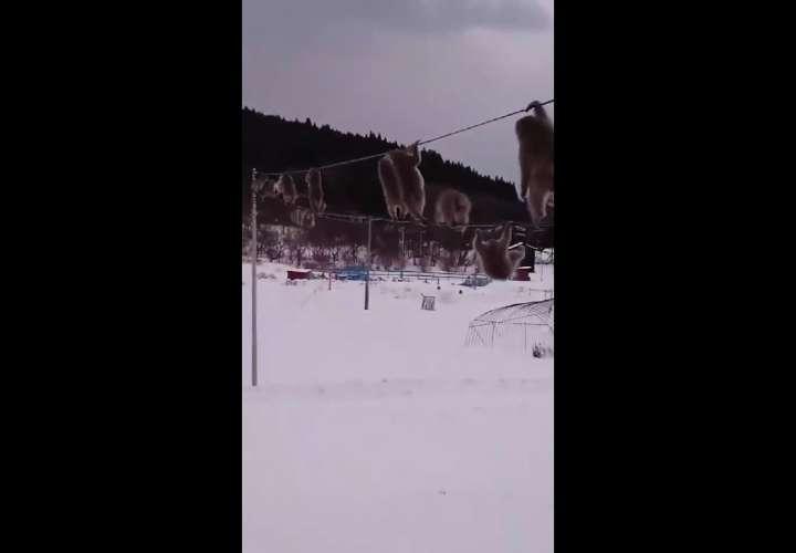 Video viral: Macacos japoneses caminan sobre cables eléctricos en Mutsu