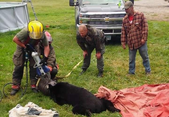 Personal de rescate usa Jaws of Life para liberar a un oso negro después de que su cabeza quedara atrapada dentro de una lata de leche de 10 galones cerca de Roseau, Minn. (Dawn Knutson vía AP