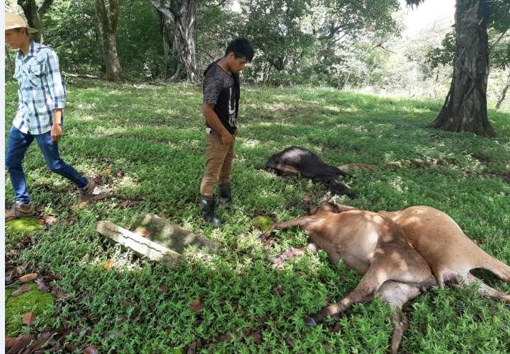 Rayo fulmina a 5 reses en Veraguas