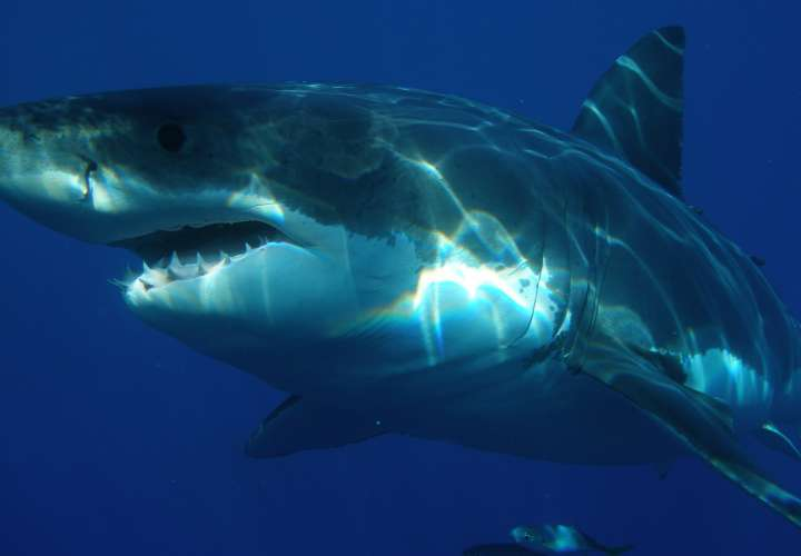 Arap llama a consulta abierta para protección de lo tiburones