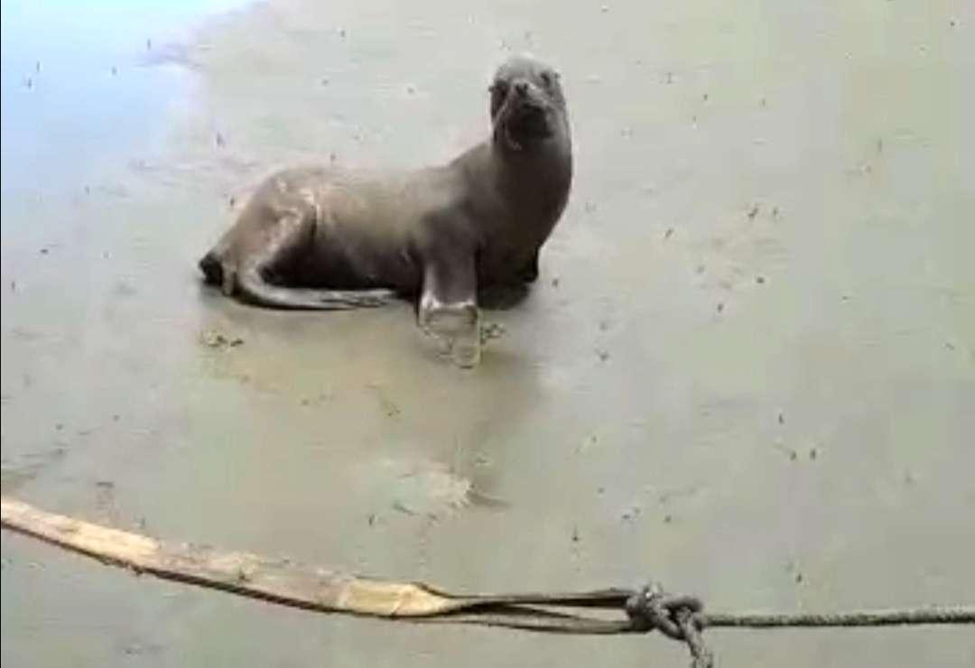 El león marino se divisó el martes 20 de octubre en las costas.