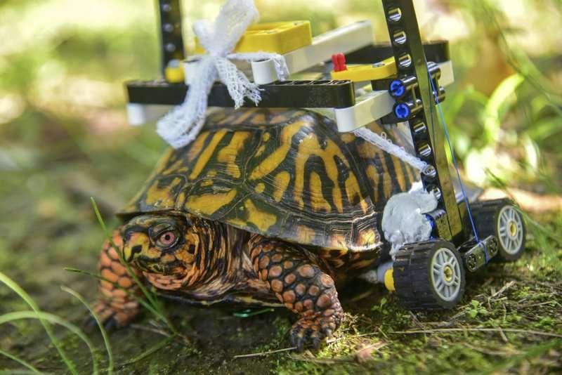 Una tortuga salvaje con una concha rota se mueve en una silla de ruedas hecha de legos mientras se recupera en el zoológico de Baltimore. AP