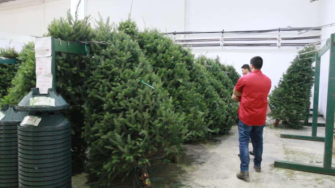 Este año Ricardo Gago está importando de Canadá unos 20 contenedores repletos de arbolitos frondosos.