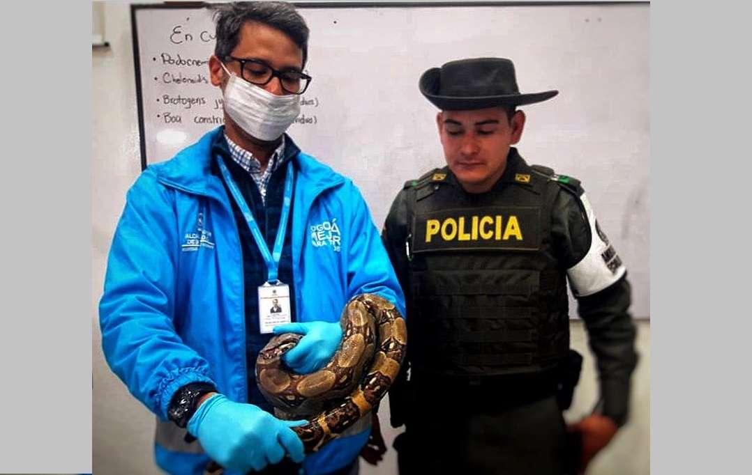 Fotografía cedida por la Secretaría de Medio Ambiente que muestra la boa constrictor de más de un metro encontrada en un autobús hoy, lunes 10 de septiembre de 2018, en Bogotá (Colombia). EFE/Cortesía Secretaría de Medio Ambiente