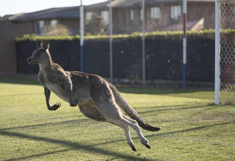 En esta foto del 24 de junio de 2018, un canguro interrumpe la Premier League Femenina entre el Belconnen United y el partido del Canberra FC en Canberra durante más de 30 minutos. (Lawrence Atkin / Capital Football vía AP)