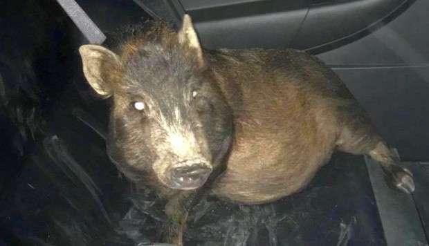 Tal vez el animal confundió al hombre con su dueño. Foto: North Ridgeville Police Department