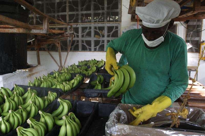 La Asociación de Bananeros del Magdalena y La Guajira (Asbama) activó protocolos de bioseguridad, como medida preventiva, que incluyen vigilancia fitosanitaria permanente de los cultivos y capacitación para la identificación de los síntomas. EFE/Archivo