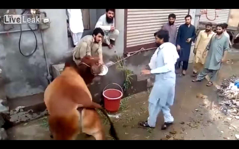Lamentablemente, a pesar de sus esfuerzos, eventualmente  la vaca fue sacrificada.