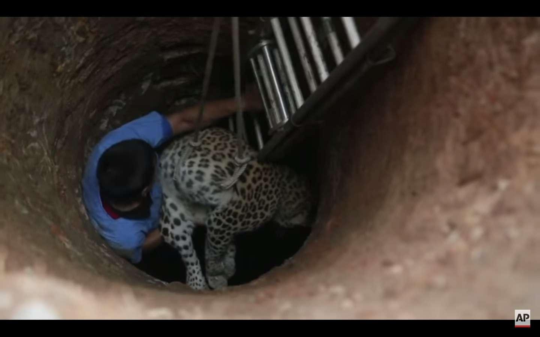 Tras ser rescatado, el animal fue llevado a un parque zoológico.