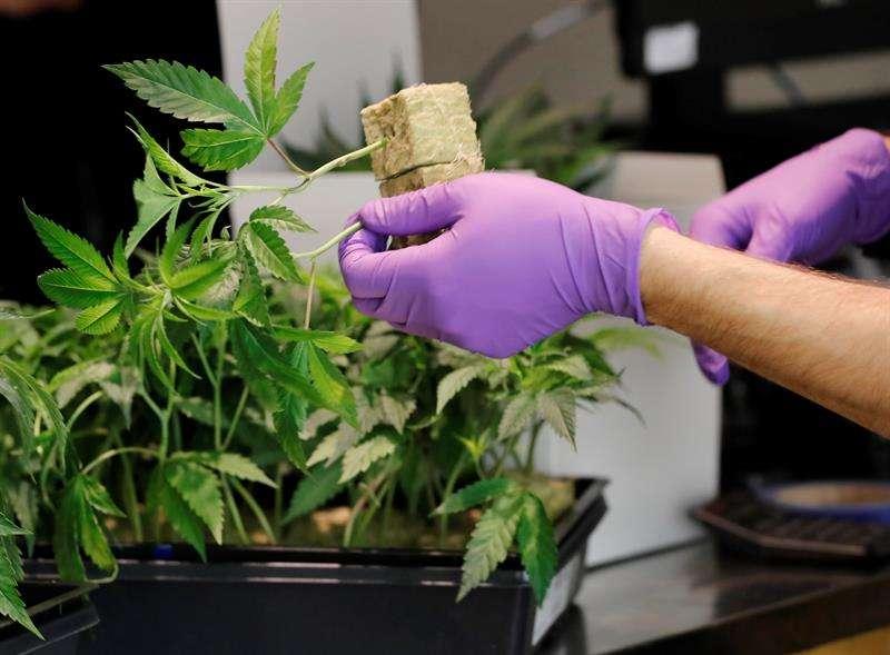 El consumo de medicamentos elaborados a base de cannabis es legal en varios países latinoamericanos, entre ellos Colombia, Uruguay y Perú, y en una veintena de estados de Estados Unidos, así como en Canadá e Israel. EFE/Archivo