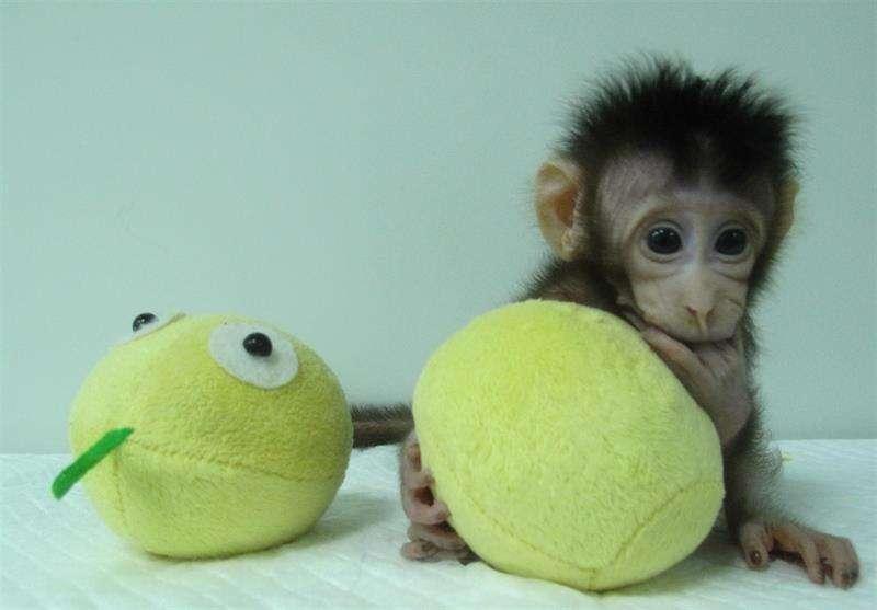 Estos primates, dos macacos de cola larga, fueron creados mediante una transferencia nuclear de células somáticas, es decir, a partir de células del tejido de un primate macaco adulto. EFE/Cortesía de Qiang Sun & Mu-ming Poo/Academia de Ciencias China