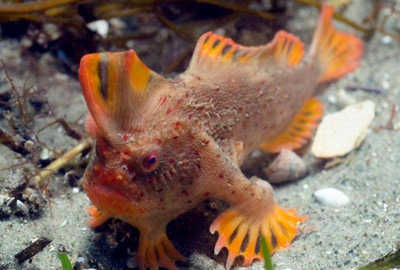 En la fotografía se aprecia como este pez adaptó sus aletas delanteras para utilizarlas como pies. /  Foto: EFE