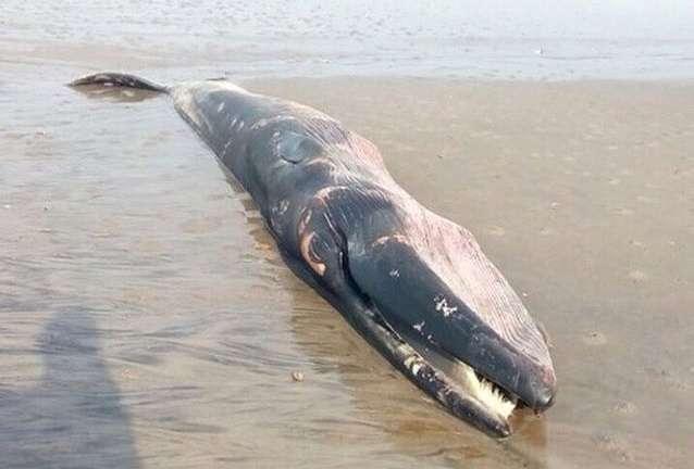 El domingo pasado otra ballena fue ubicada muerta en los Bancos de Chame. Foto: @travisnavascues