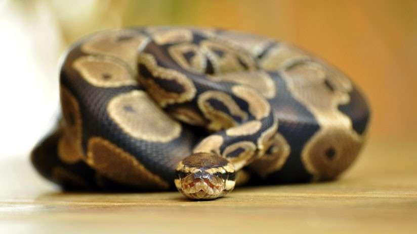Serpiente pitón. Foto: Pixabay Ilustrativa