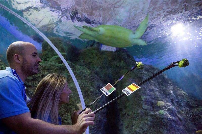 """La tortuga """" Yellow"""" se ha decantado por el alimento que estaba junto a la bandera de España. Foto EFE"""