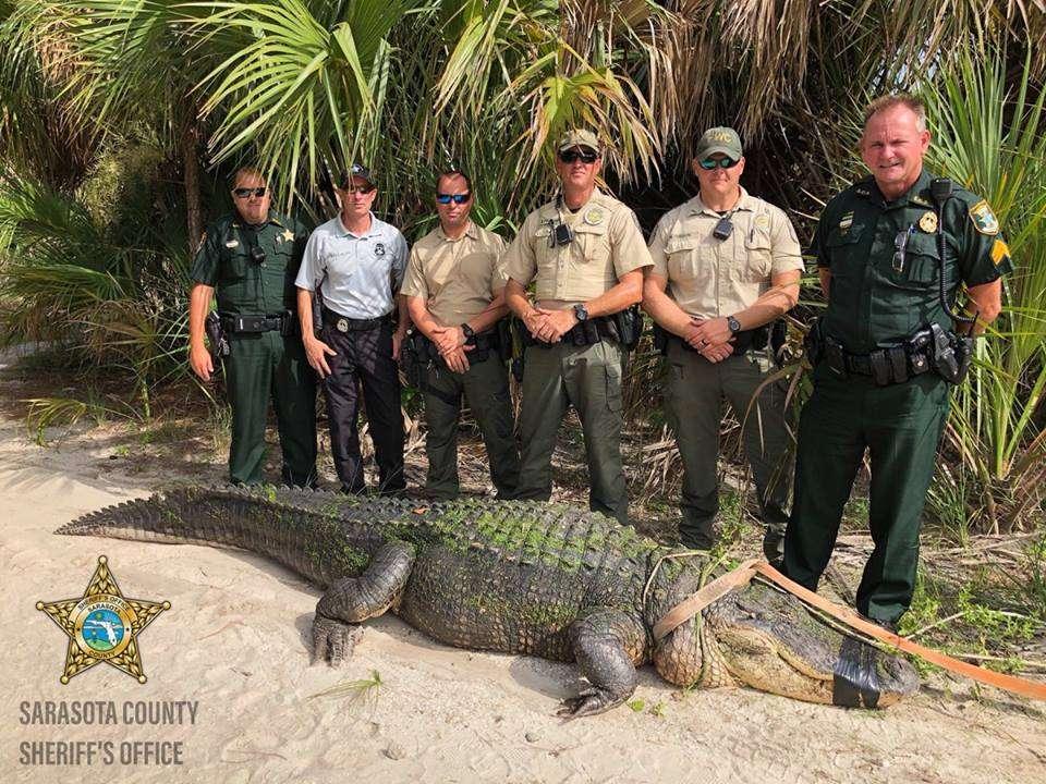 Los oficiales de MyFWC están aliviados hoy después de capturar este cocodrilo del parque shamrock en Venecia. Foto: Sarasota County (FL) Sheriff's Office