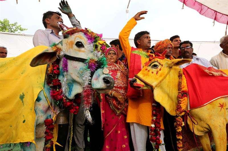 Varias indios participan en la ceremonia de casamiento entre una vaca y un toro en Kalara, en la ciudad de Bhopal (India), hoy, 16 de julio de 2018. Los habitantes de esta región creen que este ritual hindú traerá lluvias. EFE
