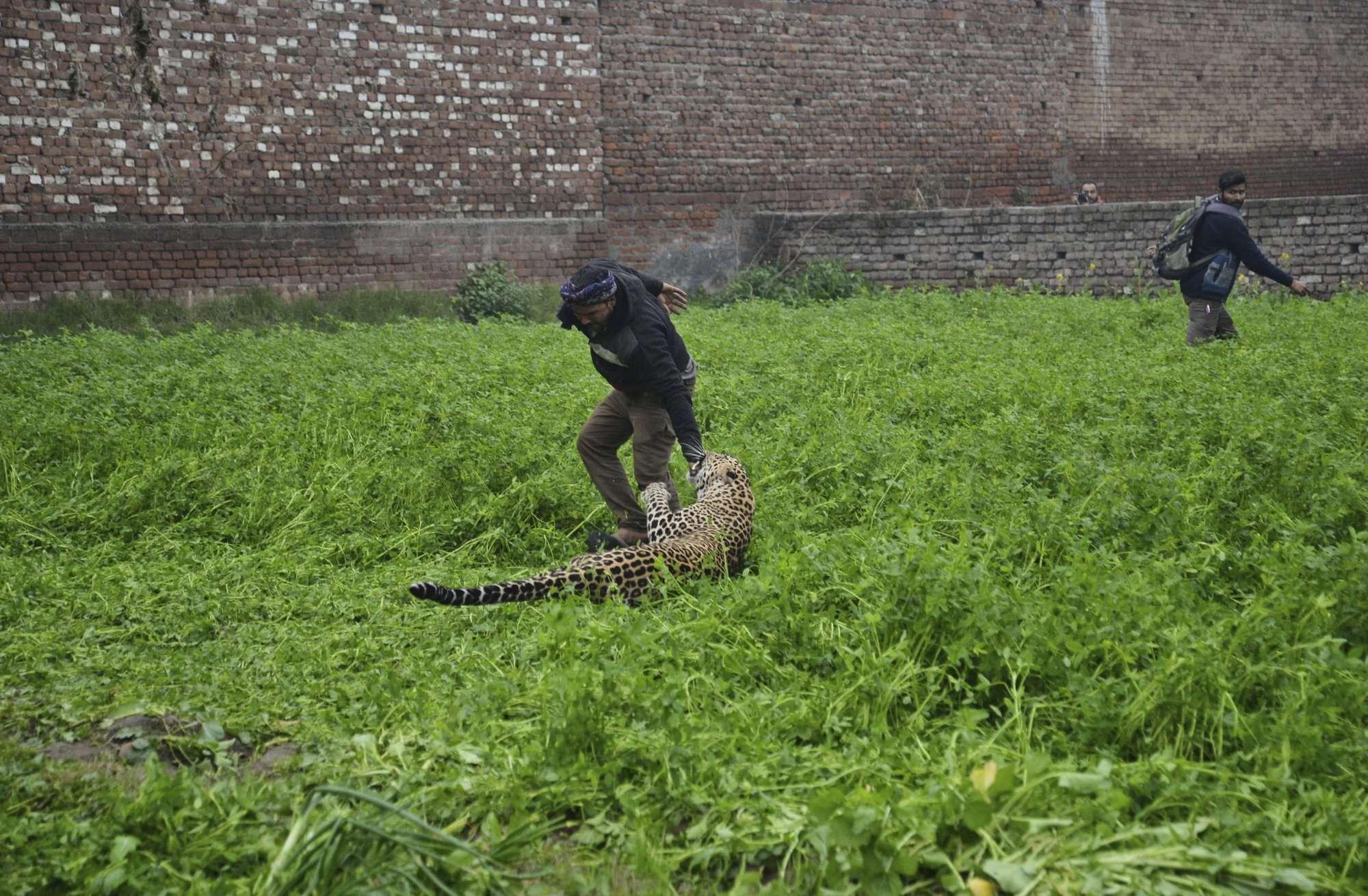 Leopardo ataca después de vagar por una zona residencial de Jalandhar. AP