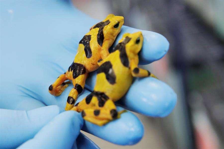 Vista de dos ranas doradas este miércoles en el centro de investigaciones del Instituto Smithsonian de Investigaciones Tropicales (STRI, por sus siglas en inglés) situado en Gamboa, una selva tropical aledaña a Ciudad de Panamá (Panamá). EFE