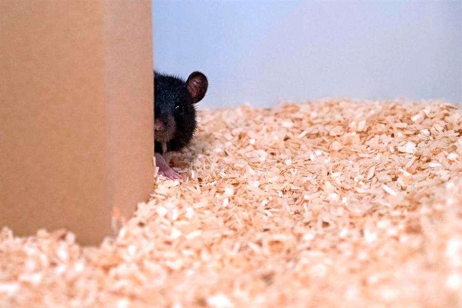 Expertos de la Universidad Humboldt de Zúrich han enseñado a estos roedores a jugar y, según parece, se les da bien tanto ocultarse como buscar. EFE