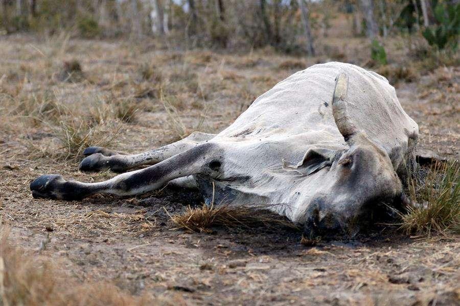 Vista de los restos de una vaca que habría muerto a causa de la sequía, en septiembre de 2019, en San Esteban Olanco (Honduras). EFE