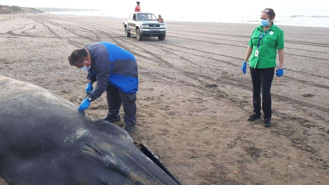 Ballena muerta en la playa La Enea, Los Santos.