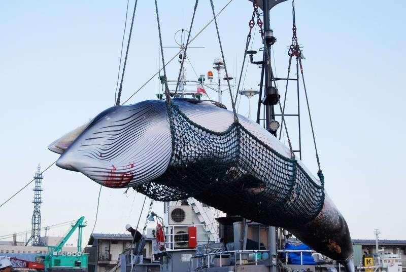 Operarios descargan a una ballena Minke de un barco en el puerto Kushiro, en Hokkaido (Japón), el 4 de septiembre de 2017. EFE/Archivo