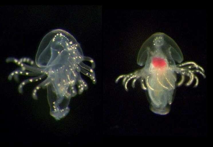 Fotografía sin fecha cedida por Michael Boyle del Instituto Smithsonian de Investigación Tropical (STRI) donde se aprecia una larva de foronídeo recolectada en la provincia de Bocas del Toro, en la costa caribeña de Panamá. EFE
