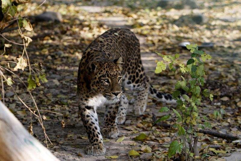 Un leopardo en el Parque Nacional Dachigam (India). EFE/Archivo