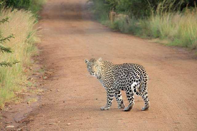 Tras el suceso, los guardias forestales dieron caza al animal para evitar más víctimas. Foto: Pixabay