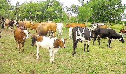 Razas de ganado criollo deben ser rescatadas