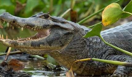 Imagen ilustrativa de un caimán.   /  Foto: NELSON ALMEIDA - AFP